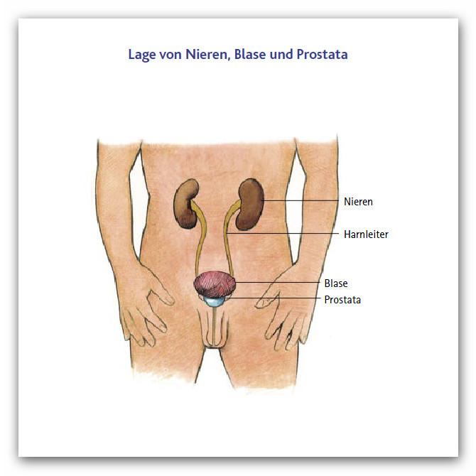 Anatomie und Funktion der Prostata - Prostatakrebs Selbsthilfe Saar